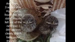 Cute Hand Reared Pet Little Owl Video - YouTube 55 Best Owl Images On Pinterest Barn Owls Children And Hunting Owls How To Feed Keep An Owlet Maya A Brief Introduction The Common Types Of Six Reasons Why You Dont Want An Owl As Pet Bird Introducing Gizmo Baby Whitefaced Youtube 2270 Animals 637 Oh Meine Uhus I Love Owls My Barn Cat Baby By Disneyqueen1 Deviantart All Things Nighttime Predator Cute Animals