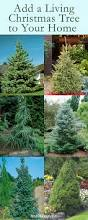 Balsam Hill Christmas Trees For Sale by How To Buy And Care For A Living Christmas Tree Monrovia
