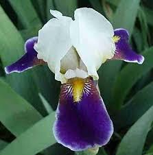 buy purple bearded iris bulbs kaligazam iris bulbs in cheap