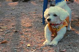 Cute Low Shedding Dogs by Top 15 Cutest Small Dogs That Don U0027t Shed Teacupdogdaily
