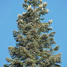 Abies Magnifica Best Silver Color For Christmas Trees California Red Fir Seed