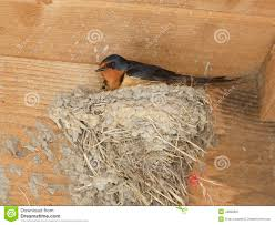 Barn Swallow Sitting On Mud Nest Stock Photo - Image: 43828667 Barn Swallow Hirundo Rustica Fledgling In Nest Stock Photo Chicks Almost Ready To Leave The The Life Of Filebarn Fledglings Nestling Siblings Near Its Three Young Hatchling Nests Seasons Flow Bird Nests A Website On Birds World Nestlings Nestwatch Sauvie Island 30 May 2013 John Rakestraw Words Birds Cservation And Research British Columbia