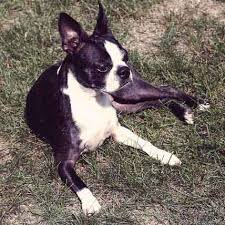 Rat Terrier Excessive Shedding by Bathing Requirements For Rat Terriers Petcarerx