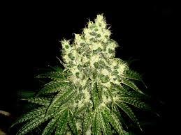 kit chambre de culture cannabis informations sur la culture de cannabis en intérieur pour débutants
