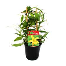 echte vanille pflanze am spalier vanilla planifolia kletterorchidee im 11cm topf