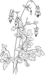Click To See Printable Version Of Aquilegia Canadensis Eastern Red Columbine Coloring Page