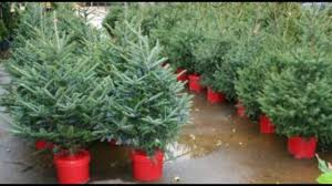 Fraser Christmas Tree Care by Live Christmas Trees Youtube