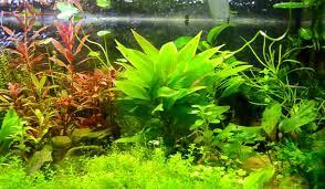 the 10 best plants for freshwater aquarium aquarium adviser