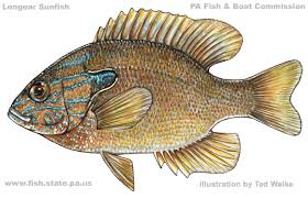Pumpkin Seed Sunfish Pictures by Sunfishes
