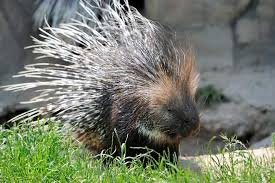 Porcupine Eats Pumpkin by How To Get Rid Of Porcupines In Your Yard