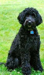 Non Shed Dog Breeds Hypoallergenic by похожее изображение животные Pinterest Dog Breeds Dog And