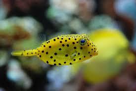 poisson eau douce aquarium tropical poisson coffre jaune aquarium tropical du palais de la porte dorée