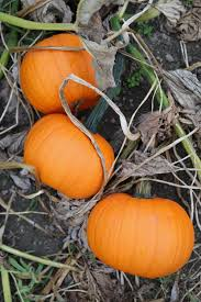 Best Pumpkin Patch Snohomish by Swan Trail Farm U2014 Finding The Extraordinary In The Ordinary