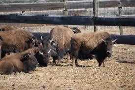 """A Historic Return Of Bison To The """"Buffalo People"""" – National ... Hunting Land For Lease In Texas Barnes Keith Ranch Way To Show Horserider Western Traing Howto Advice Petersens Devoted The Sport Of Recreational 2017 Camp Meeting Daily Schedules District United Kings Head Coach Smart Discusses Struggles Against Houston Exotics Gallery Whitetail Deer Turkeys Goats And Wild Pigs Index Names From 1968 Bridgeport Newspaper Ultimate Predatorbarneskeith Ranch Boss Hog Contest Youtube Ultimate Predator"""