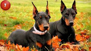 Non Shed Dog Breeds Large by Top Dog Breeds 10 Dog Breeds That Shed The Least Youtube