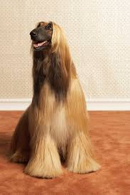 Do All Dogs Shed Fur by Do Silky Dogs Shed Dog Care The Daily Puppy