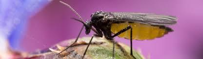 trauermücken schwarze fliegen