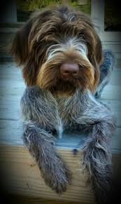 Griffon German Wirehaired Pointer Shedding by Wirehaired Pointing Griffon 3 1 2 Months Old Best Dog Ever