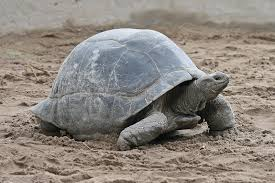 Snapping Turtle Shell Shedding by Turtle Shell Wikipedia