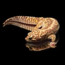 Halloween Pinstripe Crested Gecko by Leopardgecko U0027eden U0027 Bandit Tangerine Striped Chocolate Tremper