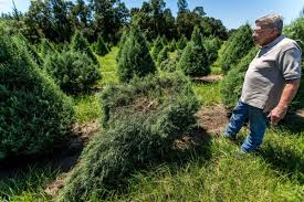 Christmas Tree Type Crossword by Arrests Made In North Shore Tree Farm Vandalism That Owner Calls
