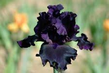 1 white purple pink bearded irises rhizomes iris bulbs flowering