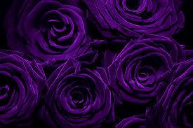 purple roses 1