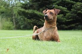 6 low maintenance dog breeds iheartdogs com