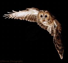 Tawny Owl In Flight | Tawny Owl In Flight Photo - WP16265 | Owl ... White Screech Owl Illustration Lachina Bbc Two Autumnwatch Sleepy Barn Owl Yoga Bird Feeder Feast And Barn Wikipedia Attractions In Cornwall Sanctuary Wishart Studios Red Eastern By Ryangallagherart On Deviantart Owlingcom Biology Birding Buddies 2000 Best 2 Especially Images Pinterest Screeching Youtube