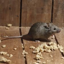 extermination et traitement contre les souris dans la maison