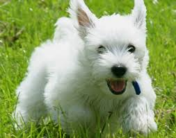 cairn terrier shed hair the cairn terrier toto from the wizard of oz