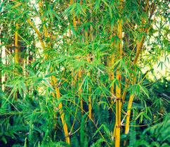entretien des bambous en pot bambou plantation entretien et taille des bambous