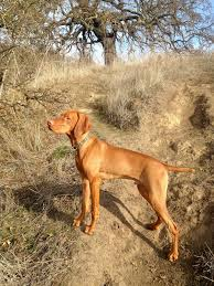Do Vizsla Dogs Shed by Redbirddog A Hungarian Pointer Vizsla Blog August 2012