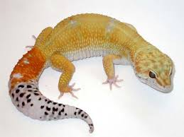 Do Leopard Geckos Shed by Professional Reptiles Leopard Gecko