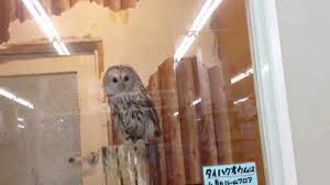 Wanna Buy An Owl? - YouTube 55 Best Owl Images On Pinterest Barn Owls Children And Hunting Owls How To Feed Keep An Owlet Maya A Brief Introduction The Common Types Of Six Reasons Why You Dont Want An Owl As Pet Bird Introducing Gizmo Baby Whitefaced Youtube 2270 Animals 637 Oh Meine Uhus I Love Owls My Barn Cat Baby By Disneyqueen1 Deviantart All Things Nighttime Predator Cute Animals