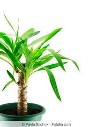 palmenpflege schneiden überwintern hilfe bei braunen