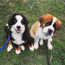 Do Smooth Coat St Bernards Shed by Already Have The Saint Bernard Now I Just Need The Bernese