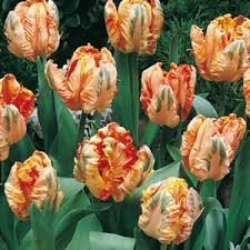 buy tulips bulbs tulip bulbs for sale uk