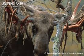 Deer Antler Shedding Cycle by Eurasian Elk Photo Alces Alces G60090 Arkive