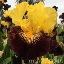 pirate ahoy iris flowers iris bulbs iris nursery