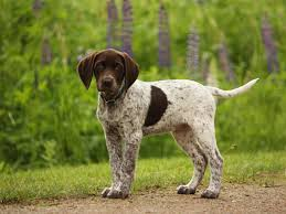 german shorthaired pointer shed german shorthaired pointer my rocks