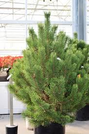 Nordmann Fir Christmas Tree by Cut Trees U0026 Greenery U2014 Southwood Landscape U0026 Garden Center