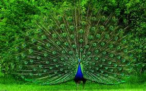 Peacock Painting Pictures Images Photos Live Hd Wallpaper Hq