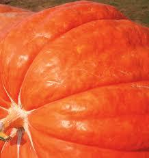 Fertilizer Requirements For Pumpkins by Dill U0027s Atlantic Giant Pumpkin Seeds
