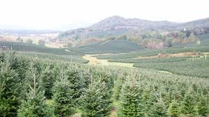 Fraser Christmas Tree Cutting by The Perfect Fresh Cut Christmas Tree The Fraser Fir The