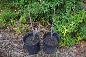 These Bur Oak Seedlings Have Grown All Summer Long And Are Ready For Fall Planting