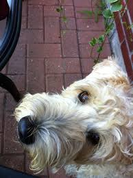 Do Wheaten Terriers Shed by The 25 Best Images About Wheatens On Pinterest Gabriel Little