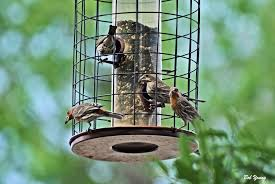 Backyard Feeders Doing Fine   Flight Of The Peregrine Backyard Bird Watching House Finch Nest 5 Weeks Complete Feeding Finches Graycrowned Rosyfinch Audubon Field Guide Free Images Nature Wilderness Branch Seed Animal Summer At Feeder Stock Photo Image 82153967 How To Offer Nyjer Birds Birding Two Great Books For Those Who Enjoy Pet Upside Down Wild Tube Essentials Triple Supoceras Ornithology Finch Breeding Attract Goldfinches Your Dgarden Sfv Idenfication San Fernando Valley Society