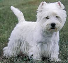Cute Low Shedding Dogs by West Highland White Terrier Pros And Cons West Highland White