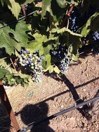 Stanly Lane Pumpkin Patch Napa 2015 by Napa Valley Uncorked Ventures